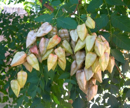 Golden Rain Tree - Seed Pods