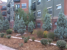 upright Juniper bushes in a Xeriscape planting