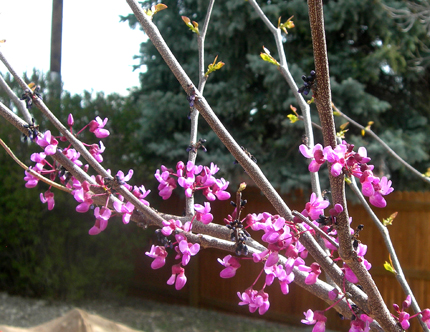 Redbud flowers and leaves emerging