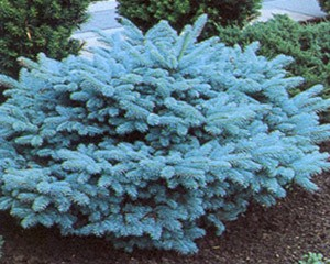 Photo of Blue Globe Spruce