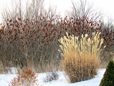 ornamental grasses winter interest