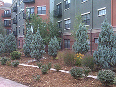 Upright Junipers in Xeriscape