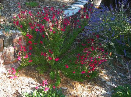Salvia greggii 'Furman's Red' Sage