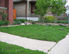 thyme lawn