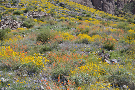 native desert landscaping wildflowers
