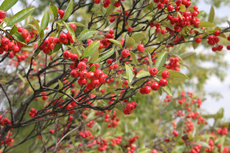 Aronia arbutifolia - Red Choke Berries