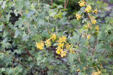 Ribes aureum - Golden Currant