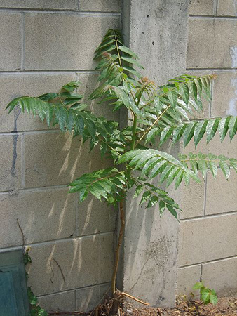 Young Ailanthus altissima