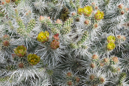 Cylindropuntia Echinocarpa