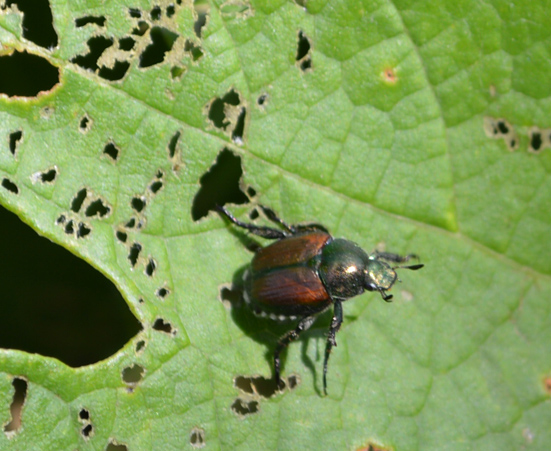 Popillia_japonica_on grape leaf at DBG 2
