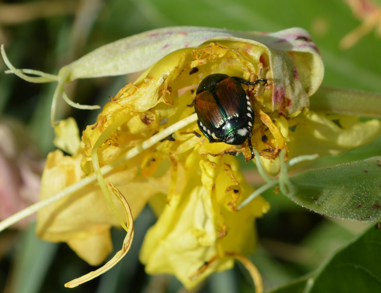 Japanese beetle eating an Oenothera flower.