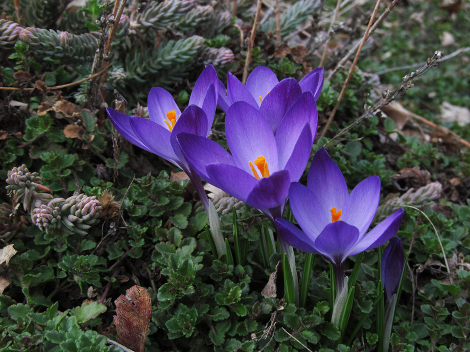 crocus_march2015
